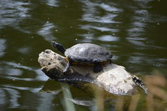 Tortoise. Turtle on a pond on a trunk Stock Image