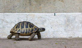 Tortoise / Turtle. Side on shot of a tortoise walking against a concrete background royalty free stock photo