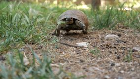 Tortoise turtle slowly moving through on green grass walking to camera