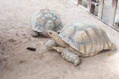 Tortoise. Two Giant tortoise in Thailand Stock Image