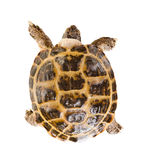 Tortoise. Typical tortoise on white background; isolated, top view stock photo