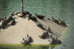 Tortoise under the sun Stock Photography