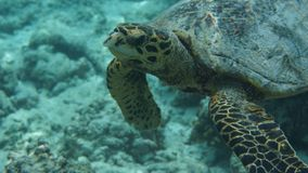 Tortoise. Underwater in the ocean Stock Photo
