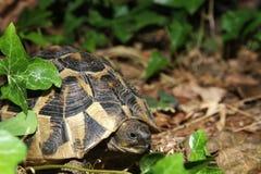 Tortoise w zielonej roślinie Zdjęcia Stock