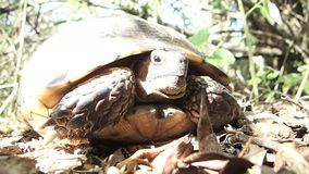 Tortoise waiting in the forest stock footage