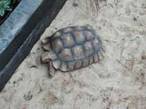 Tortoise. Walk on the Sand in a park in Lombardy Stock Photos