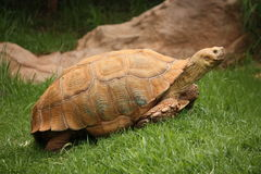 Tortoise Walking Stock Images