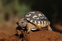 A tortoise walking. On rough ground Stock Photography