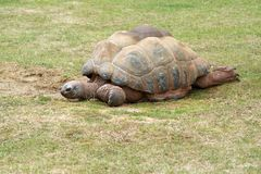 Tortoise Walking Royalty Free Stock Photo