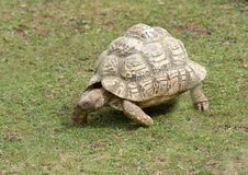 Tortoise Walking Stock Photo