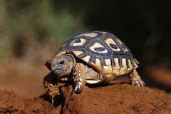 A tortoise walking Royalty Free Stock Photo