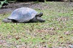 Tortoise Walking. These lumbering giants are the largest species of tortoises in the world and can live up to 150 years.  Photographed in a South Florida Zoo Royalty Free Stock Images