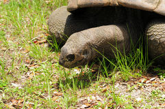 Tortoise walking Royalty Free Stock Photos