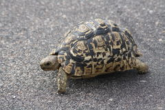 Tortoise walking across road Stock Images