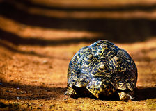 Tortoise Walking Away. Closeup detail of the carapace of a tortoise or terrestrial turtle walking away across bare earth in sunlight Stock Images
