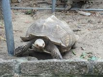 Tortoise. A tortoise walking and enjoying its life Royalty Free Stock Images