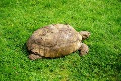 Tortoise. Walking on the fresh green grass Stock Photo
