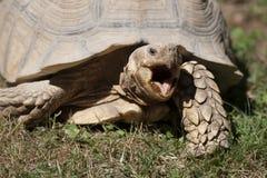 Tortoise Royalty Free Stock Photos