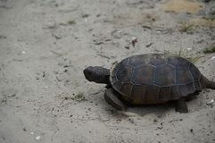 Tortoise walking on the sand on a beach Stock Image