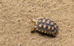 Tortoise walking on the sand Royalty Free Stock Image