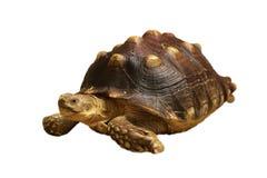 Tortoise on white. Animal, slow, walking, wildlife, turtle, reptile stock photos