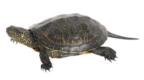 Tortoise on a white background. Royalty Free Stock Photography