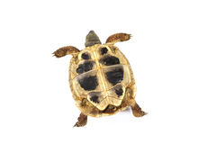 Tortoise. On a white background stock photography