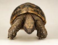 Tortoise on white background Royalty Free Stock Photo