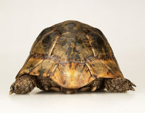Tortoise on white background Stock Photography