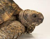 Tortoise on white background Stock Images