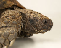 Tortoise on white background Royalty Free Stock Photography