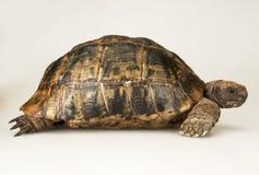 Tortoise on white background Stock Photo