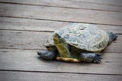 Tortoise on a Wooden Bridge. Closeup of a tortoise on a wooden bridge Stock Photos