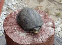 Tortoise on a wooden red stump. Ordinary river tortoise of temperate latitudes. The tortoise is an ancient reptile. Royalty Free Stock Images