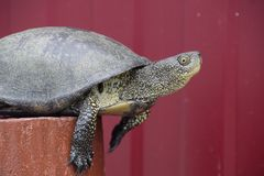 Tortoise on a wooden red stump. Ordinary river tortoise of temperate latitudes. The tortoise is an ancient reptile. Stock Images
