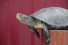 Tortoise on a wooden red stump. Ordinary river tortoise of tempe Royalty Free Stock Photos