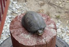 Tortoise on a wooden red stump. Ordinary river tortoise of temperate latitudes. The tortoise is an ancient reptile. Stock Image