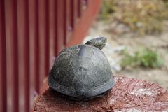 Tortoise on a wooden red stump. Ordinary river tortoise of temperate latitudes. The tortoise is an ancient reptile. Royalty Free Stock Photography