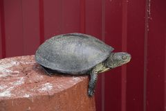 Tortoise on a wooden red stump. Ordinary river tortoise of temperate latitudes. The tortoise is an ancient reptile. Royalty Free Stock Photo