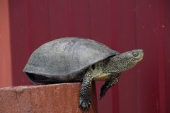 Tortoise on a wooden red stump. Ordinary river tortoise of temperate latitudes. The tortoise is an ancient reptile. Stock Photography