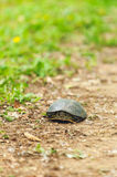 Tortoise with Yellow Spots Stock Photos