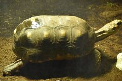 Tortoise. A tortoise in a zoo Royalty Free Stock Photography
