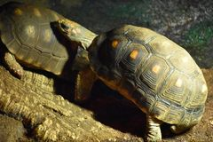Tortoise. A tortoise in a zoo Stock Photo