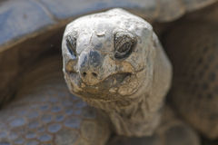 Tortoise at zoo Stock Photography