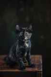 Tortoisehell Cat Stock Photography
