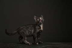 Tortoisehell Cat Royalty Free Stock Photography