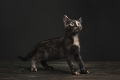 Tortoisehell Cat Royalty Free Stock Photos