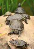 Tortoises Stock Images