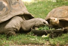 Tortoises Royalty Free Stock Images