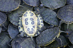 Tortoises Stock Photography